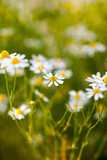 Wild camomile (Matricaria chamomilla) in the field with natural background - 178251347