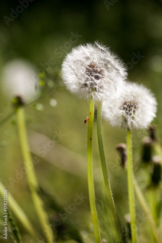 Fotobehang Paardebloemen Dandelion seeds with natural background