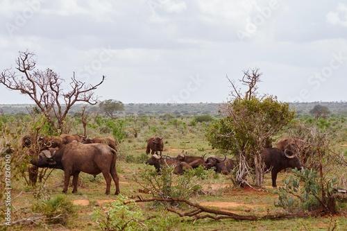 Büffel im Tsavo Ost Poster