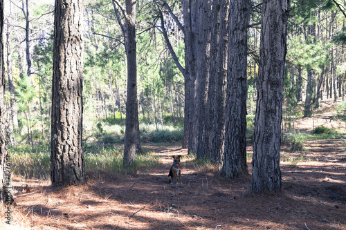Papiers peints Buenos Aires Dog waiting in the middle of the forest