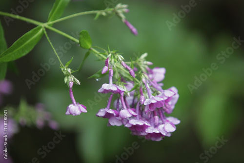 summer garden after rain - purple flowers with water drops Poster