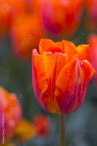 Fotobehang Rood Nature and Botanical Concepts. Macro Shot of Dutch Tulip of Hermitage Sort Against Blurred Background. Located in Keukenhof National Park in the Netherlands.