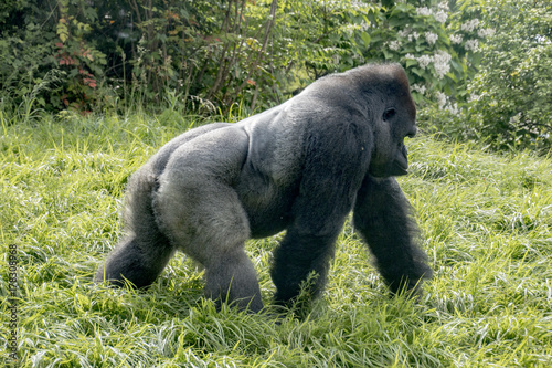 Gorilla strolling by Poster