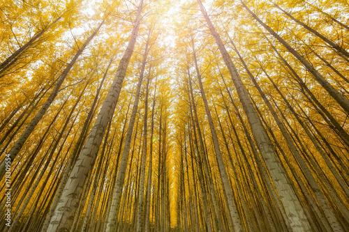 Fotobehang Oranje Towering Poplar Trees in Boardman Oregon Tree Farm USA America