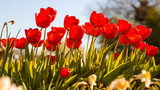 Tulips - 178318129