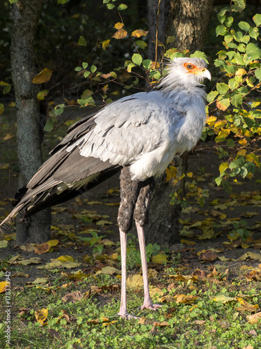 Secretary bird, Sagittarius serpentarius, long legs kills even poisonous snakes Poster