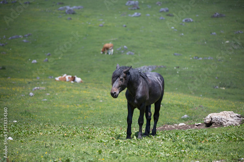 Black Horse and Cows Pasturing in Grazing Lands: Italian Green M Poster