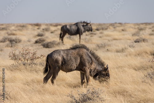 Wildebeest Grazing - Etosha National Park - 2017 Poster