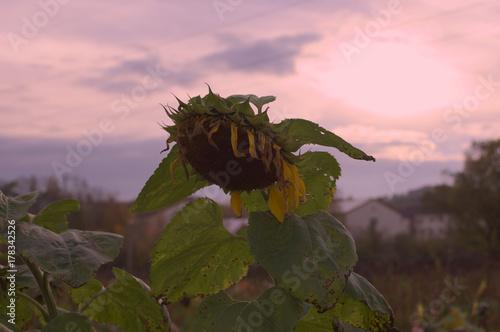 Fotobehang Lichtroze faded sunflower