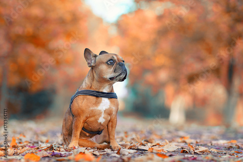 Deurstickers Franse bulldog Hund in der Herbstallee