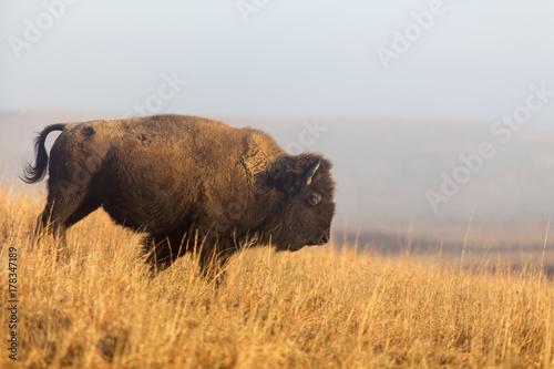 Aluminium Bison American bison walking down hill; Maxwell Wildlife Refuge, Kansas