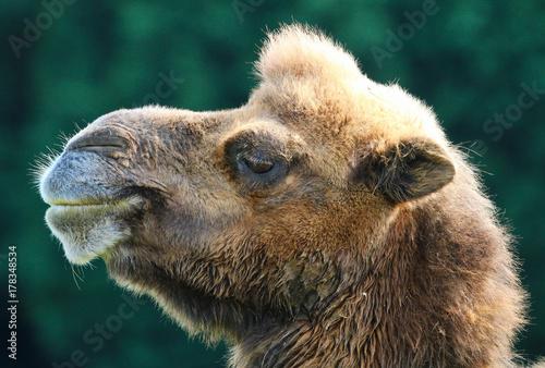 Fotobehang Kameel Camel
