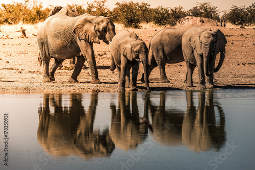Wild elephants drinking at the waterhole in Etosha NP, Namibia, Africa Poster