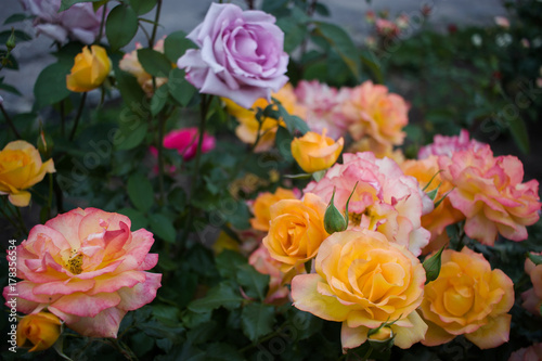 Fototapeta  Beautiful blossoming multicolored roses