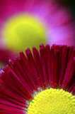Macro of pink and yellow daisy flower