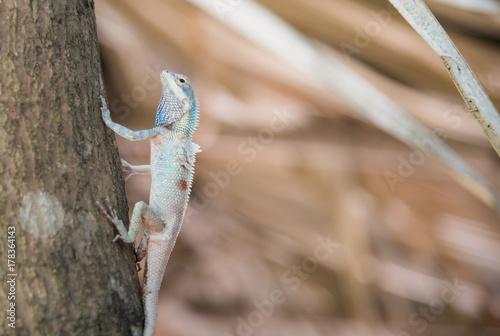 Fotobehang Kameleon image of macro blue chameleon on the tree , Natural color change