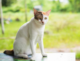 Beautiful three colors thai cat  on the table happily natural background