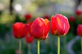 Tulips - 178364750