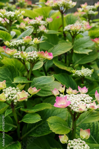 Fotobehang Hydrangea Hydrangea shrub with opening flowers and tight buds. Pink sepals starting to open.