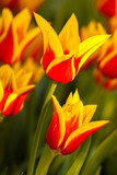 Colorful tulips in spring - 178383160