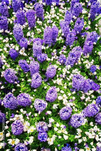 Fotobehang Purper blue hyacinth flowerbed background in dutch park Keukenhof, Netherlands, top view retro toned
