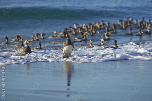 Large group of Falkland Steamer Ducks (Tachyeres brachypterus) coming ashore on Sea Lion Island in the Falkland Islands Poster