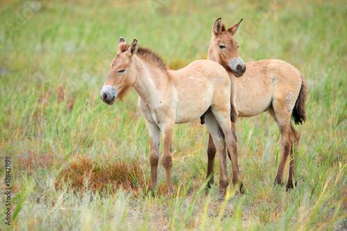 Przewalski horses in the Altyn Emel National Park in Kazakhstan Poster
