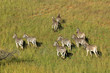 Aerial view of plains zebras (Equus burchelli) in grassland, South Africa.