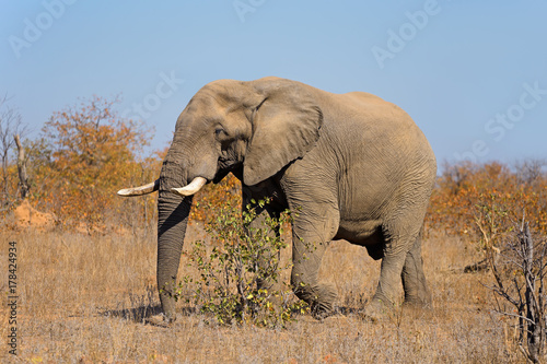 Large African bull elephant (Loxodonta africana), Kruger National Park, South Africa Poster