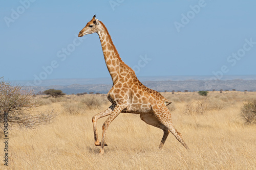 Giraffe (Giraffa camelopardalis) running on the African plains, South Africa Poster