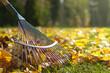 Raking fallen leaves in the garden , detail of rake in autumn season.