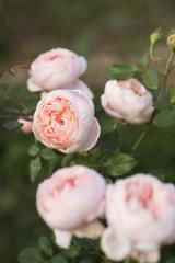世羅のバラ