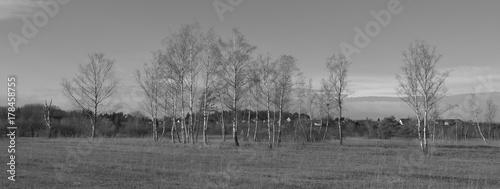 Papiers peints Bosquet de bouleaux Row of birch trees in winter.