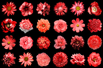 Mix collage of natural and surreal red flowers 24 in 1: peony, dahlia, primula, aster, daisy, rose, gerbera, clove, chrysanthemum, cornflower, flax, pelargonium, marigold, tulip isolated on black