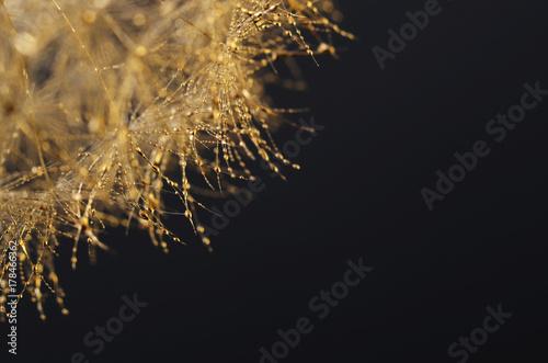 Fotobehang Paardebloemen Christmas background : gold dandelion seeds