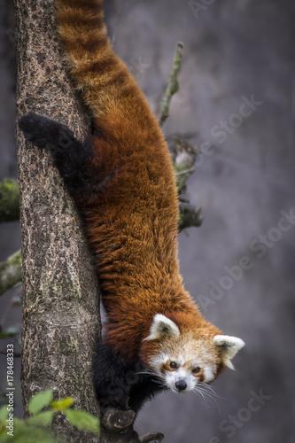 Red dwarf chinese panda Poster