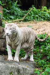 White tiger while looking for something to eat