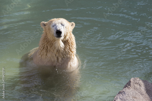 Fotobehang Ijsbeer Sleepy polar bear in the water