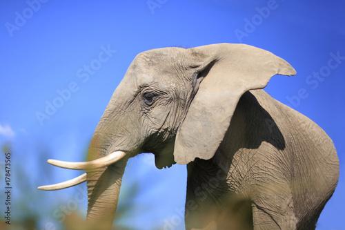 afrikanischer Elefant vom Boden durch Gras fotografiert vor blauem Himmel Poster