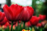 Tulipani rossi - 178473910