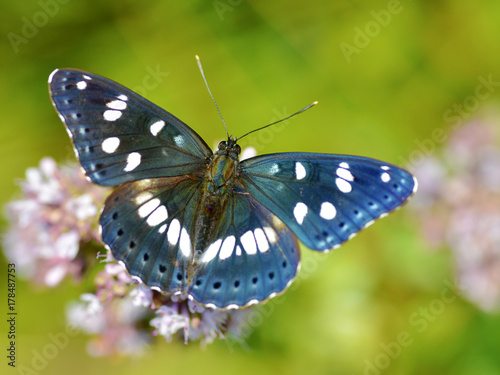 Fotobehang Vlinder Southern White Admiral butterflies (Limenitis reducta) viewed on top