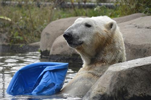 Aluminium Ijsbeer Polar bear swimming in the water