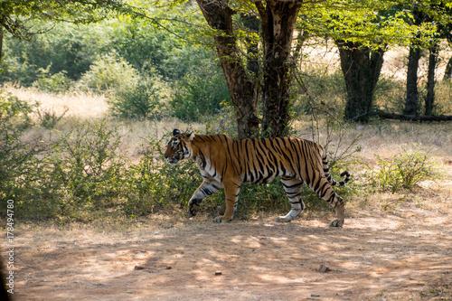 Wild free Indian Tiger Ranthambore Poster