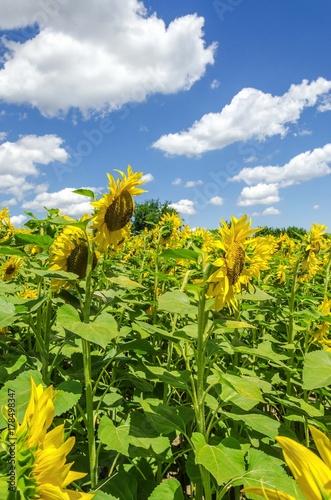 Fotobehang Geel sun flower plants