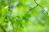 Birch branch.Nature background.