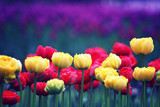 Blooming tulips.The natural background. - 178499370