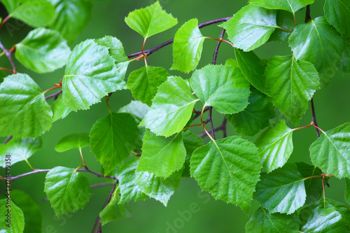 Birch branch.Nature background. - 178499358