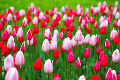 Fotobehang Tulpen Blooming tulips.The natural background.