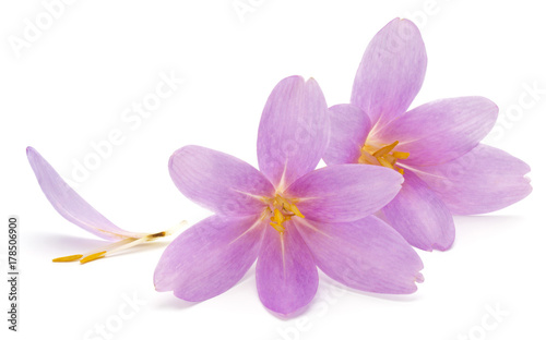 lilac crocus flowers isolated on white background