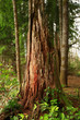 a picture of an Pacific Northwest forest with a second growth conifer tree